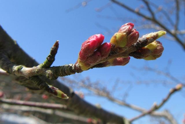 枝垂れ桜 今 蕾 28.3.22