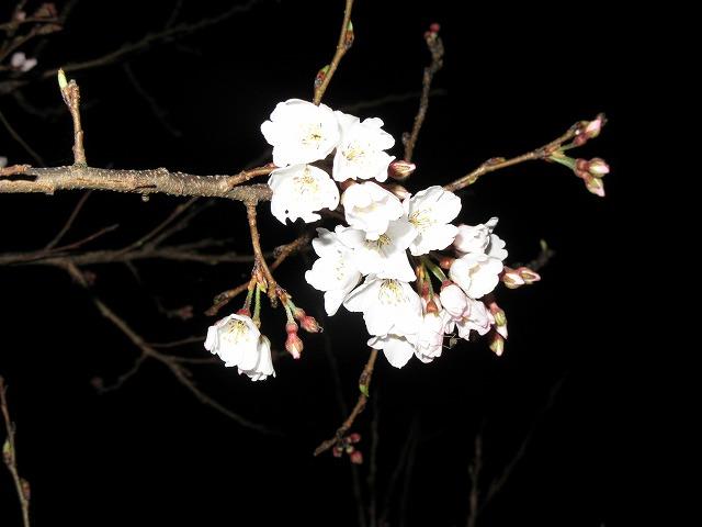 淡墨桜少しだけ咲く 28.3.23