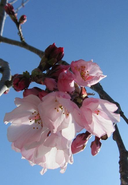 枝垂れ桜アップ 28.3.26