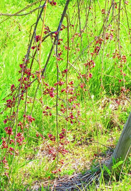 地面すれすれの桜の枝 28.3.26