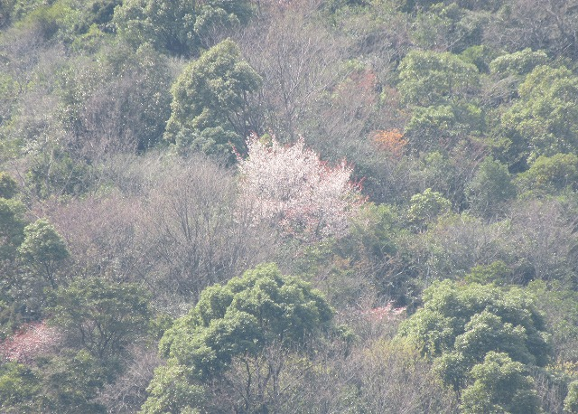 山条山の山桜かな? 28.3.27
