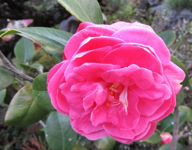 3月末から咲いてる赤椿 28.4.8