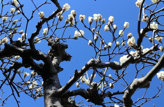 木蓮の花が咲き始め 28.3.16