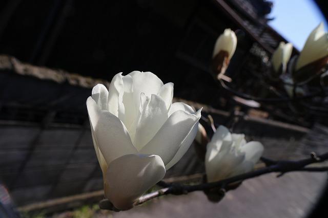木蓮の花白 28.3.16