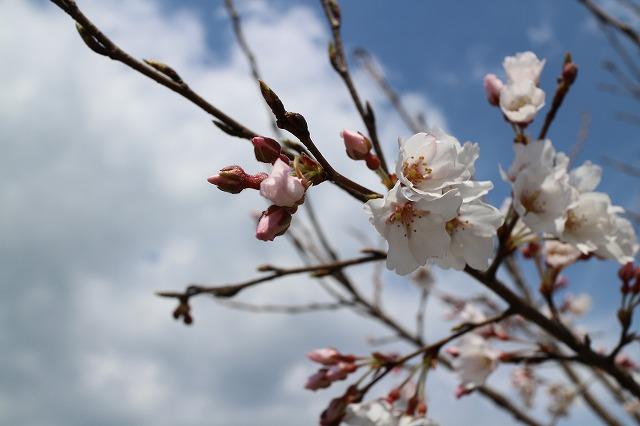 淡墨桜左空に向かって 28.3.26