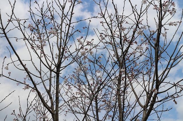 淡墨桜全体 28.3.26