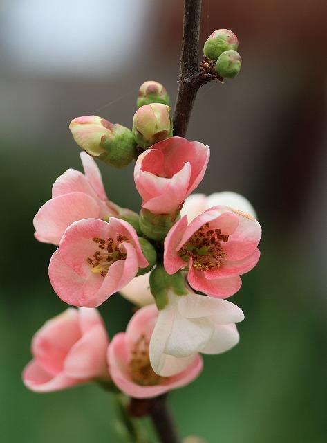 ボケの花 西の庭 28.4.1