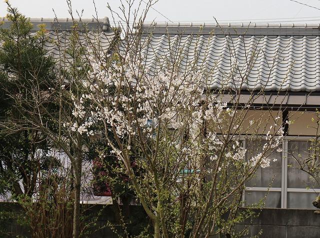 薄墨桜の木 28.4.1