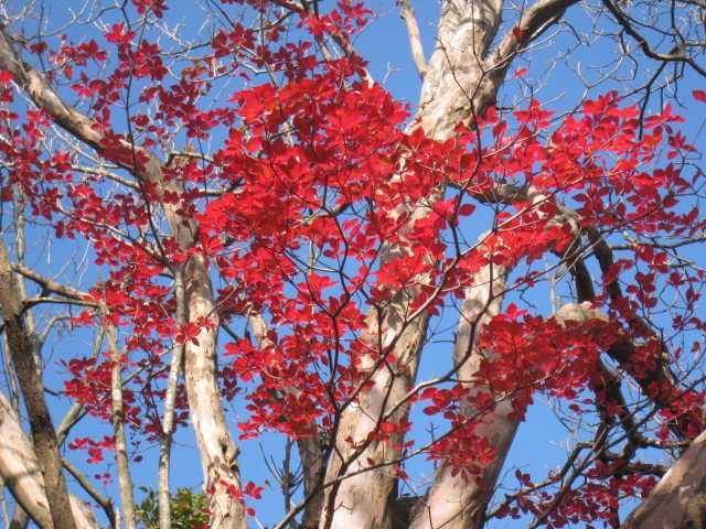 IMG_0029 ドウダンツツジの紅葉