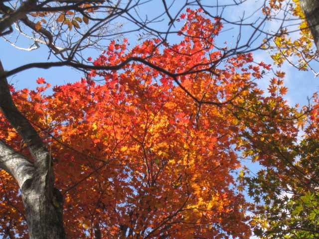 IMG_0062 高木の紅葉