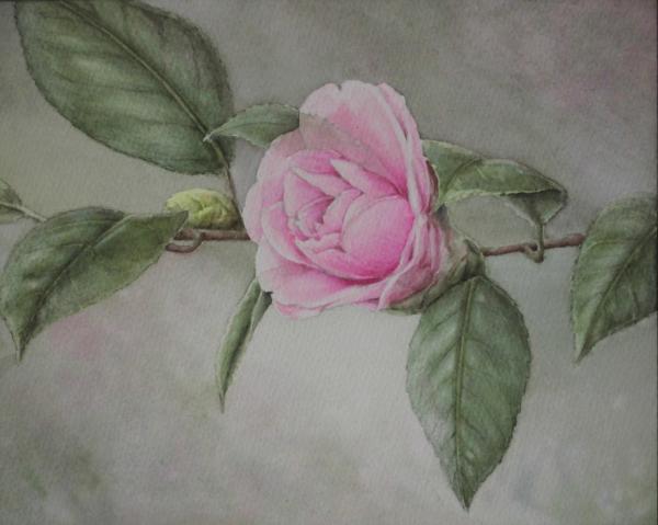 ピンクの椿 1511