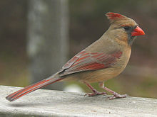 220px-Northern_Cardinal_Female-27527.jpg