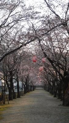 2016.3.27桜