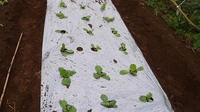 2015.10.11菜園6