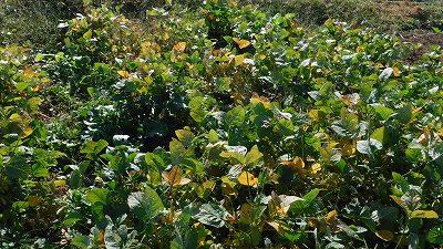2015.10.31菜園32
