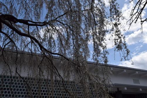 三春滝桜DSC_5738
