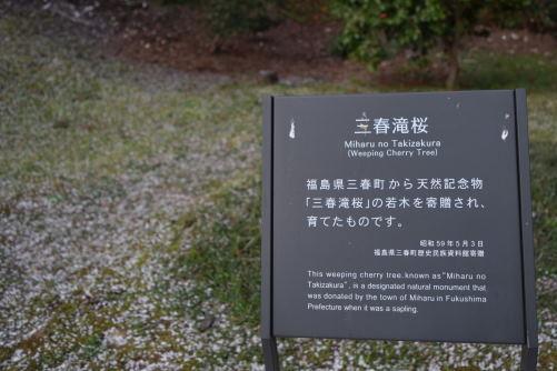 三春滝桜DSC_5734