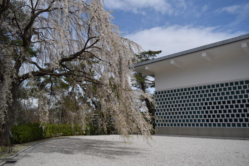 三滝桜DSC_5689