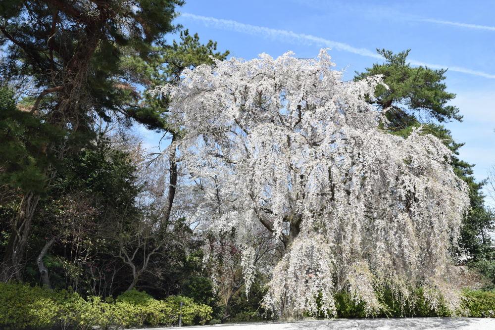 滝桜DSC_5754