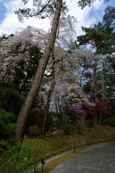縦桜DSC_5859