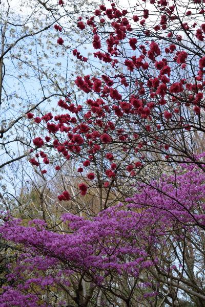 縦桜DSC_5854