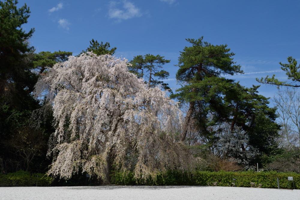 三春滝桜DSC_5838