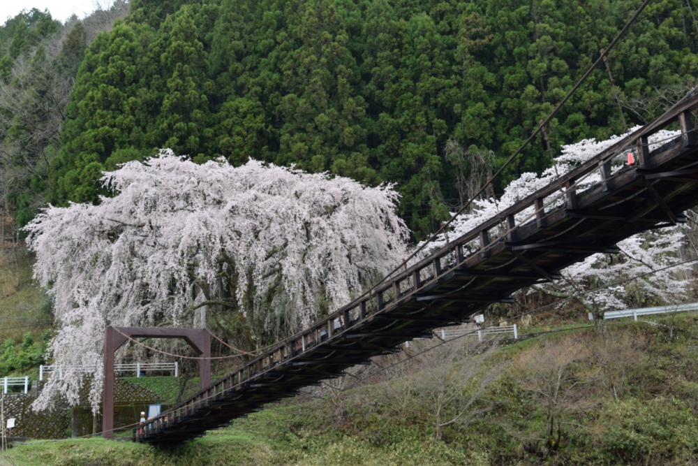 DSC_7081_魚ヶ渕吊り橋の桜DSC_7081