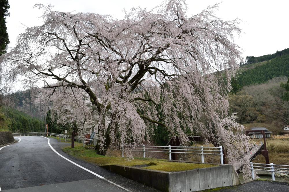 DSC_6915_魚ヶ渕吊り橋の桜DSC_6915