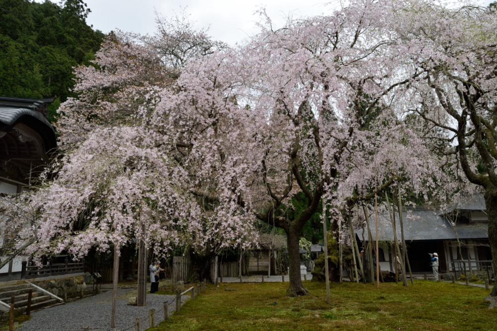 DSC_7277_常照皇寺左近の桜DSC_7277