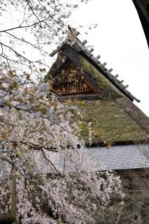 DSC_7197_常照皇寺左近の桜DSC_7197