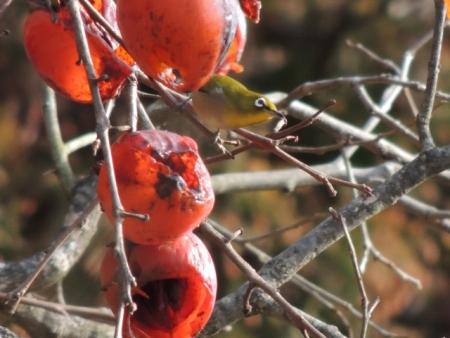 N1452柿とメジロ