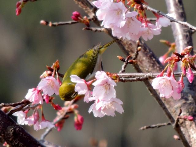 N7288桜にメジロ
