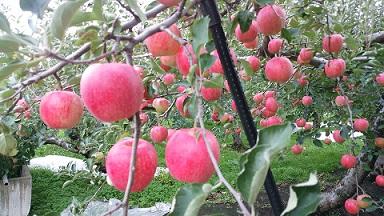 りんご畑2