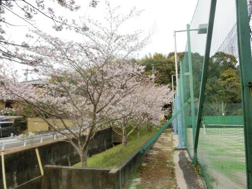 テニスコート桜1