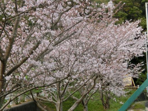 テニスコート桜2