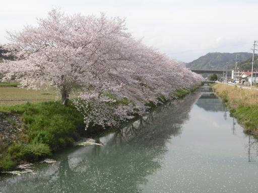 葉梨川の土手の桜1