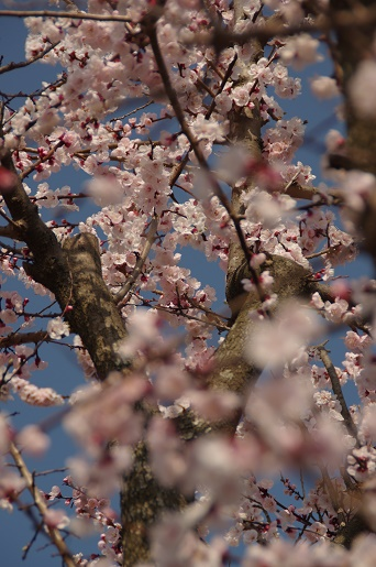 160322-あんずの花a
