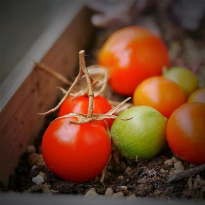 tomato151023-1