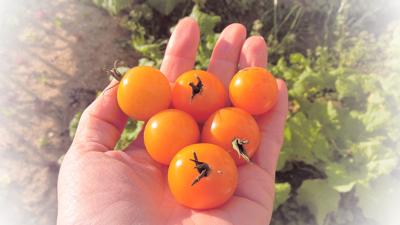 tomato151205-1