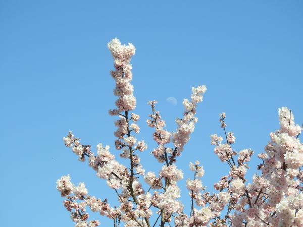 春めき桜0001