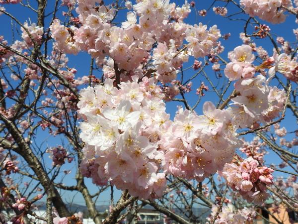 春めき桜0002
