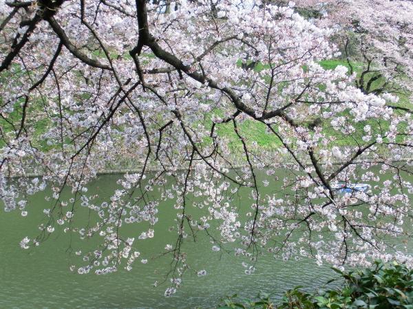 160331皇居 桜0008