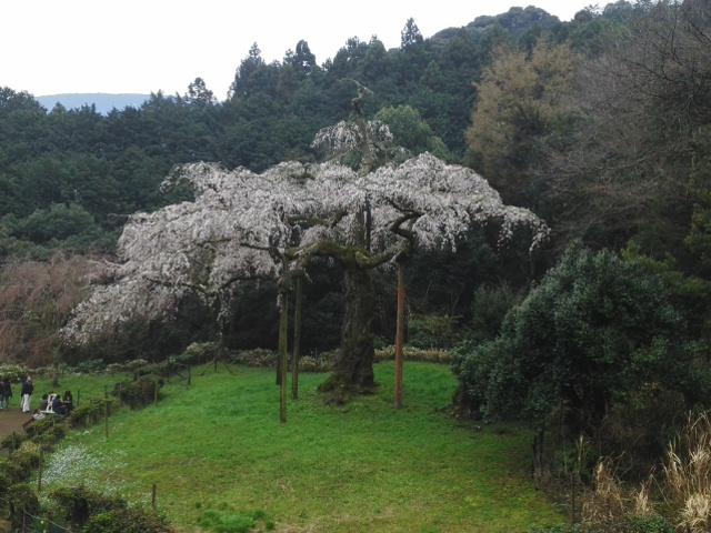 160402長興山紹太寺しだれ桜