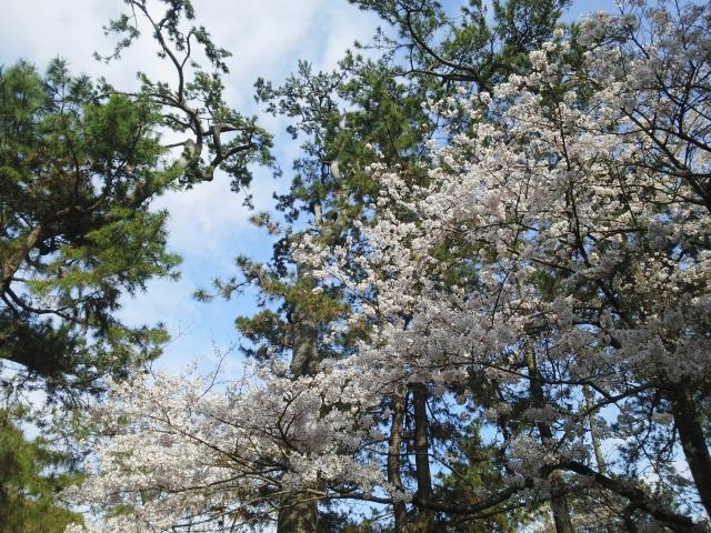 160402沼津御用邸桜