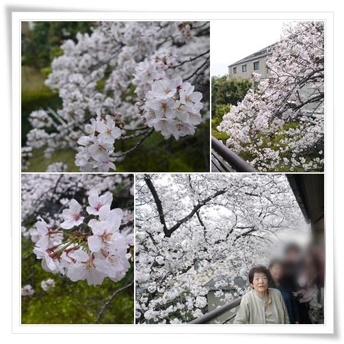 2016姉宅でお花見