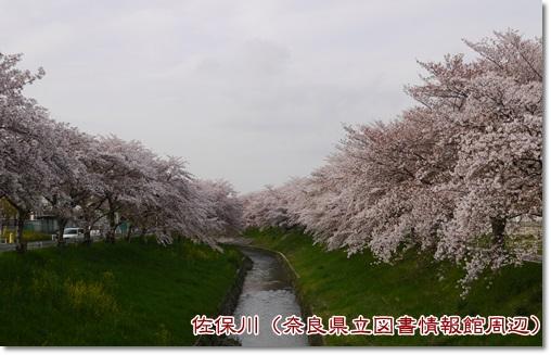 佐保川桜並木