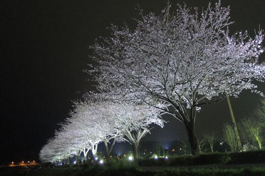 00ライトアップされた桜