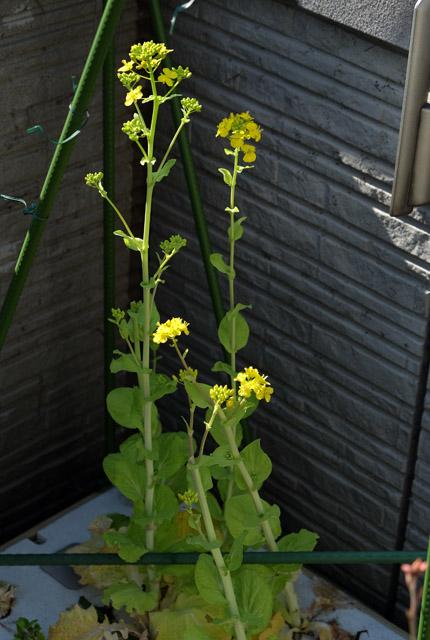4779 縮緬白菜の花 430×640