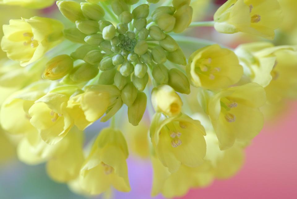 4176 縮緬白菜の花 960×645