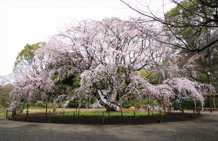 六義園 枝垂桜全景